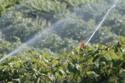 Grape irrigation near Sunnyside, Washington on June 11, 2014. (TJ Mullinax/Good Fruit Grower)