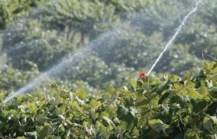 Grape irrigation near Sunnyside, Washington on June 11, 2014. (TJ Mullinax/Good Fruit Grower)